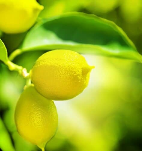 Lemons on a tree image