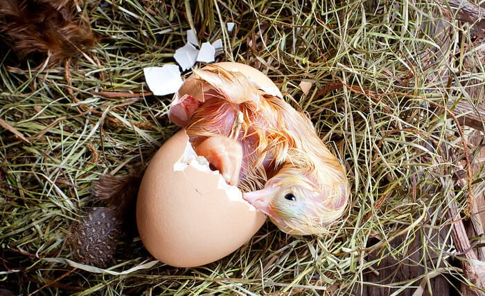 How To Hatch Chicken Eggs The Complete Guide
