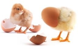 The yellow small chicks with egg