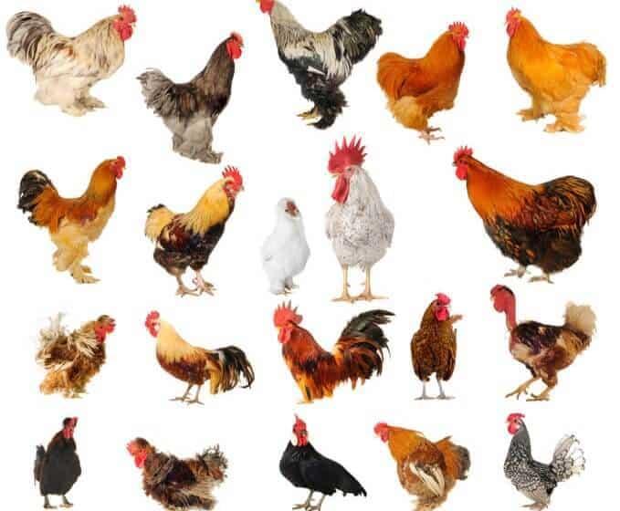 Chicken Pickin' 101