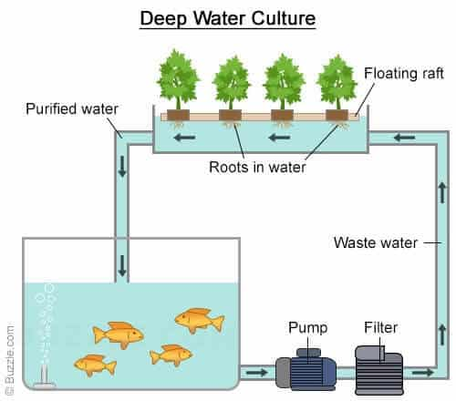aquaponics deep water culture