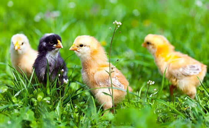 Raising Baby Chicks The Definitive Guide
