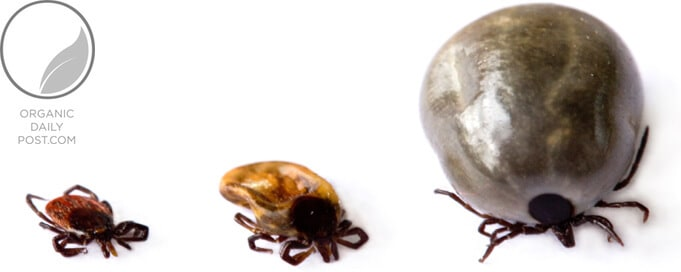life cycle of ticks image