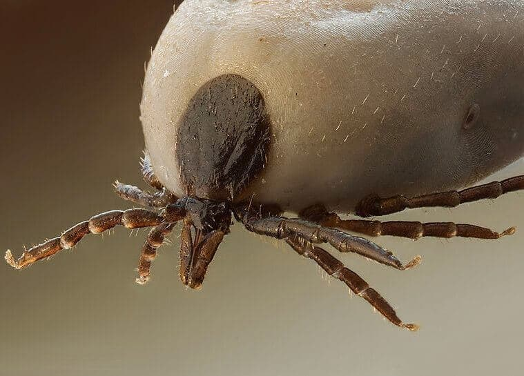 Close-up photo of an engorged tick
