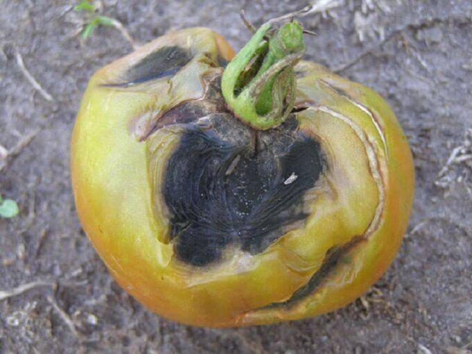 Early blight in tomato