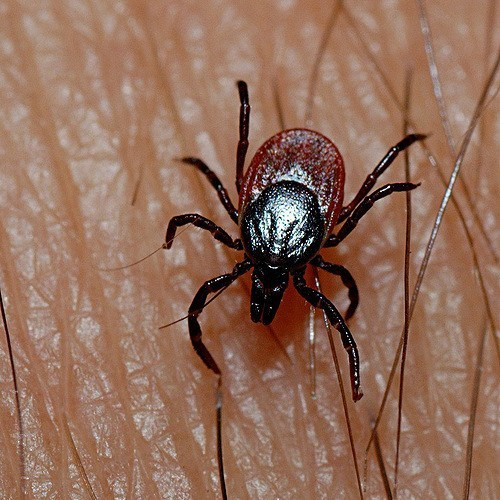 Image of deer tick on skin