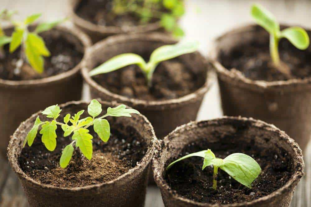 Potted tomato seedlings growing in biodegradable peat moss pots