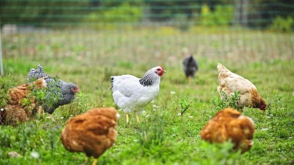 Coop Technology The Automatic Chicken Door Opener