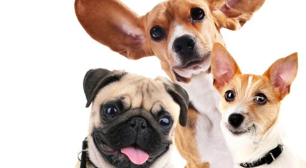 Cedar oil for dogs