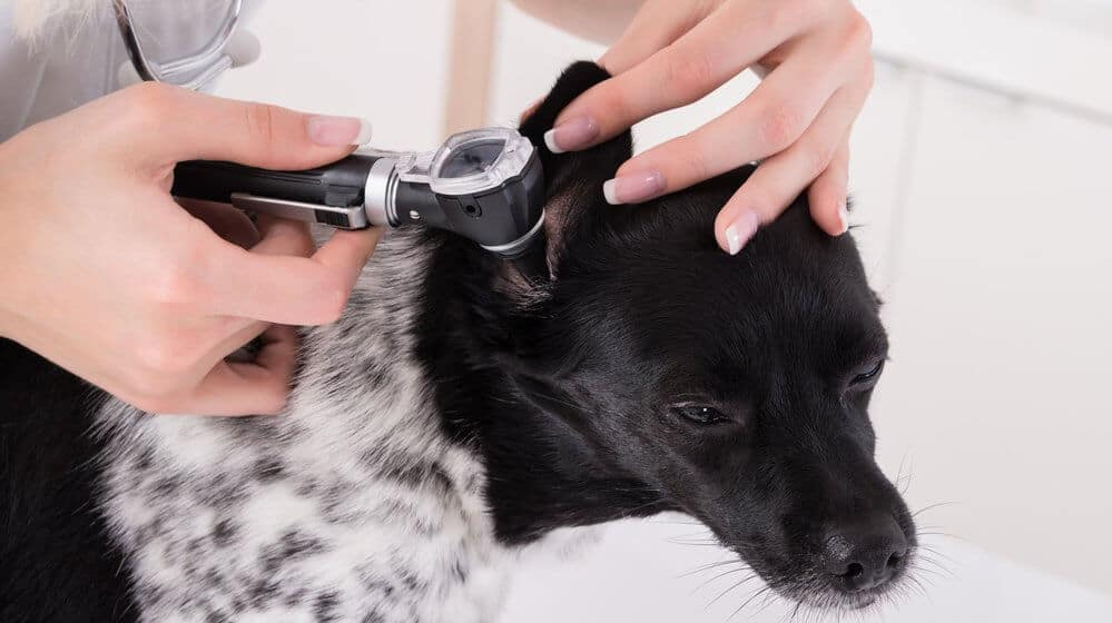 Serious Dog Ear Buildup