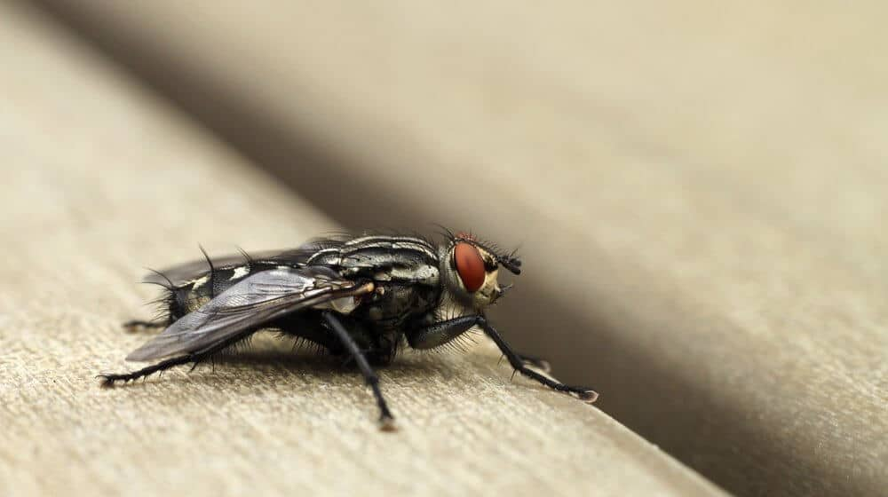 Natural Remedies for Flies