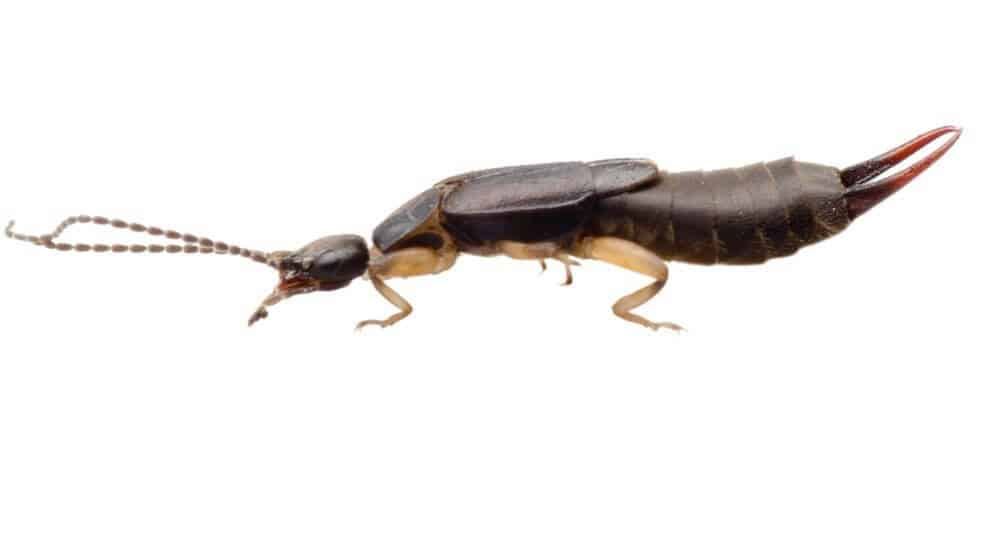 It sounds like something out of a horror film: a tiny insect with pincers coming out of its abdomen skulks into your ear, late at night, to lay eggs and ...