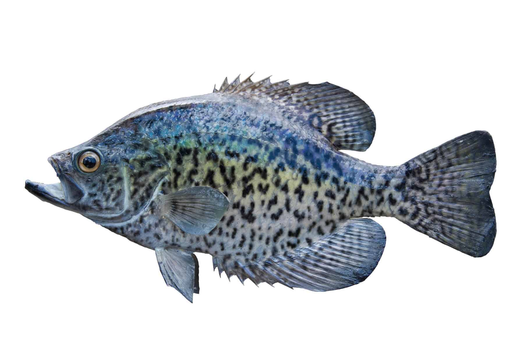 Raising Crappie in an Aquaponic System