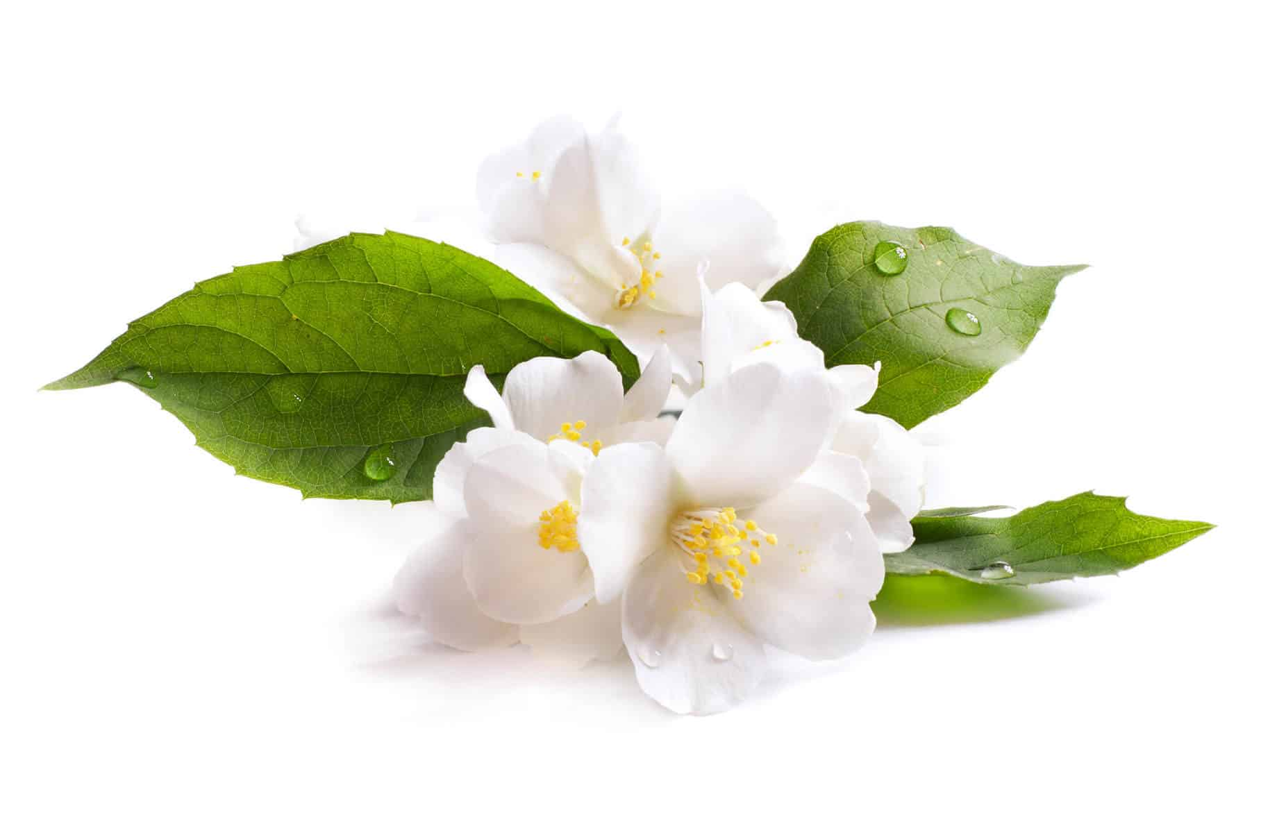 21 Remarkable Uses of Jasmine Essential Oil