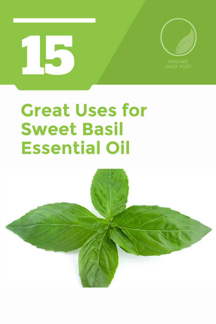 Sweet Basil essential oil improves your digestive system, gives you beautiful hair and cures bacterial infections. This is a fragrant herbal essential oil with many great uses.
