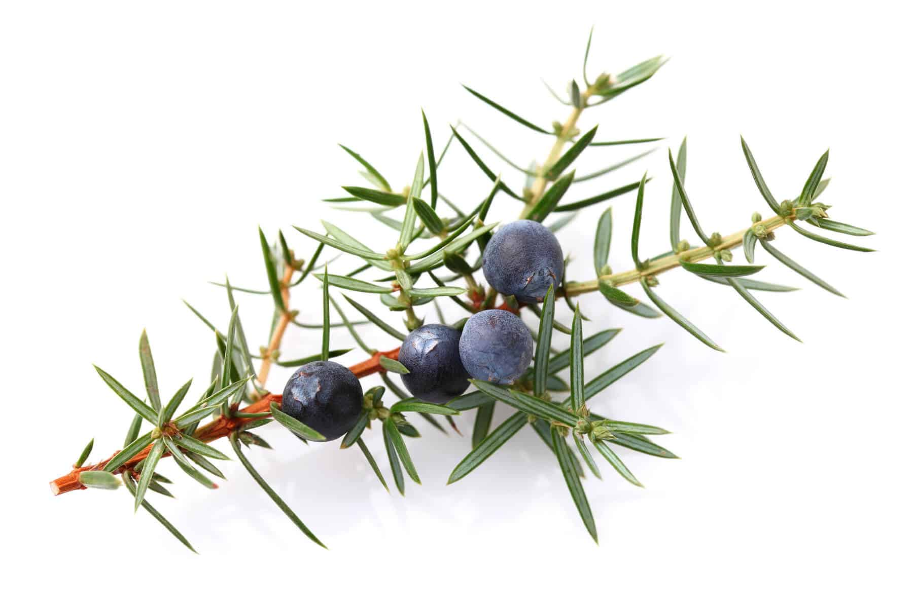 17 wonderful uses for juniper berry essential oil for The juniper