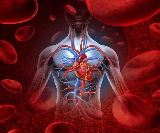 Vascular/Blood System