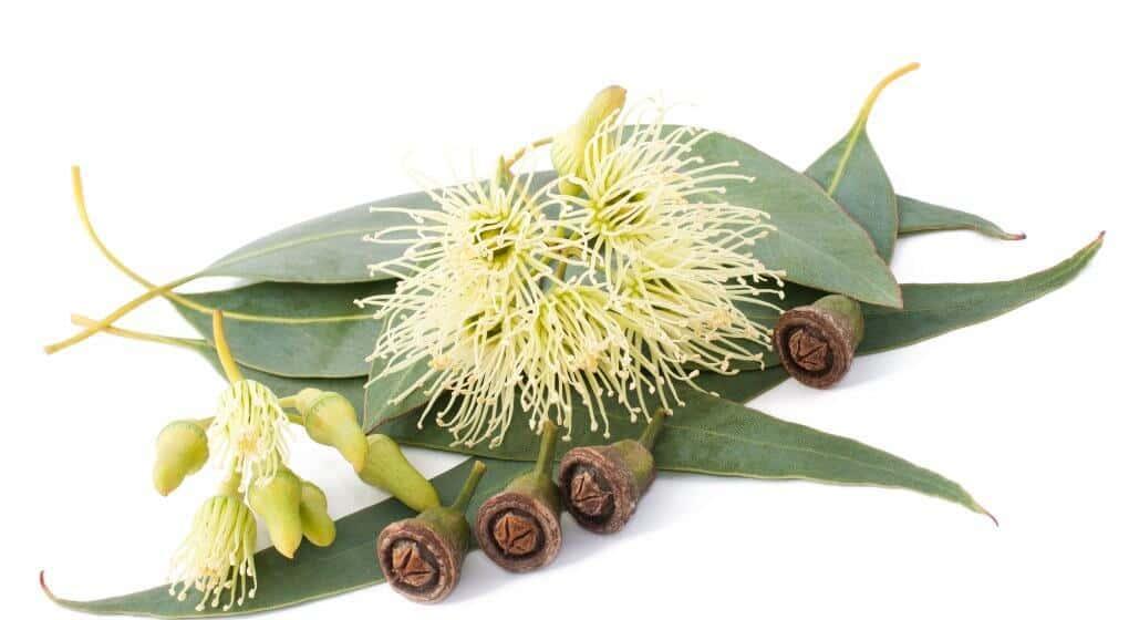Eucalyptus plant parts