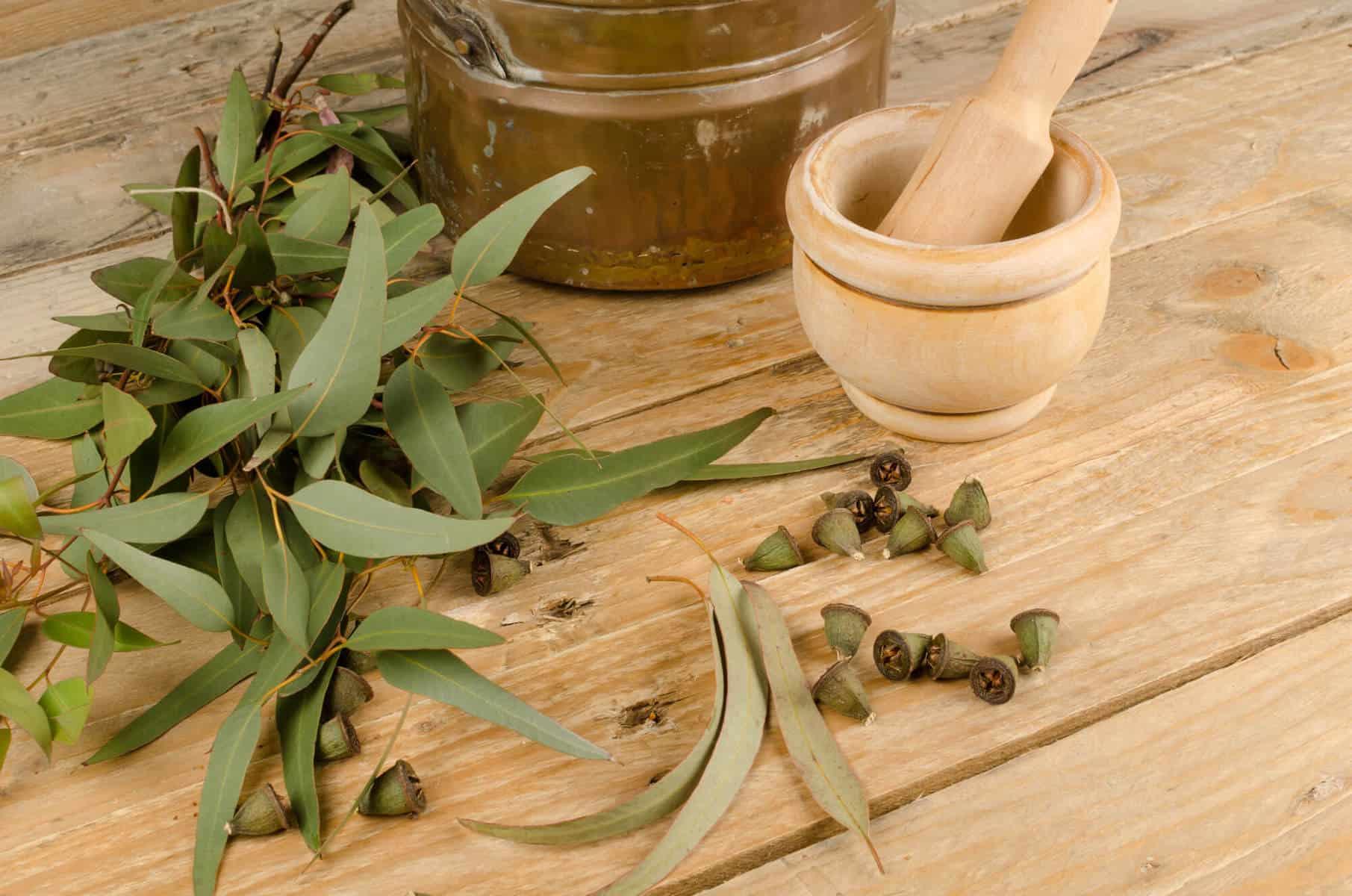Medicinal eucalyptus plant