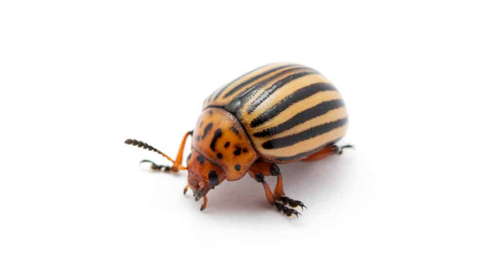 Identifying and Ridding Your Garden of Potato Bugs