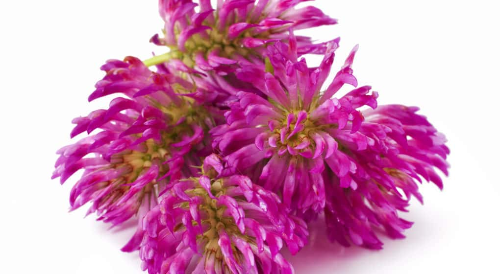 Choosing the Best Red Clover Supplement