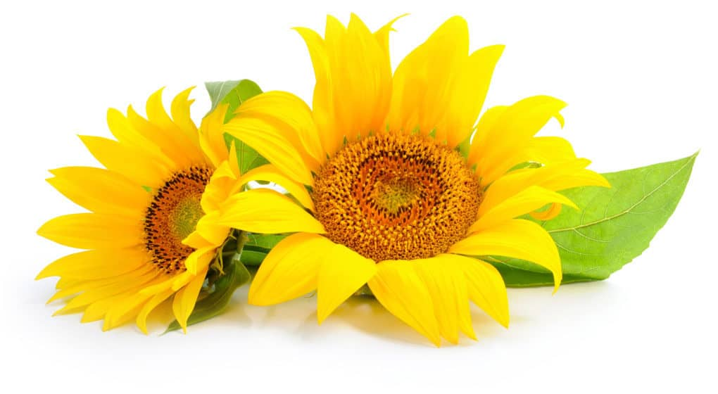 Choosing the Best Sunflower Lecithin Supplement
