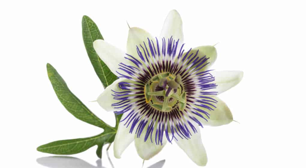 Choosing the Best Passion Flower Supplement